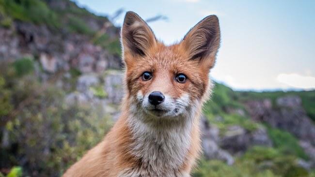 lis z Lofotów